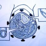 Querschnitt durch einen Unterschenkel
